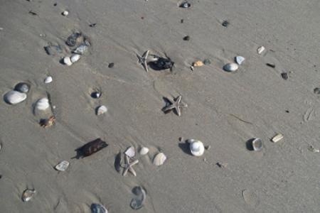 Shellfish on Carova Beach