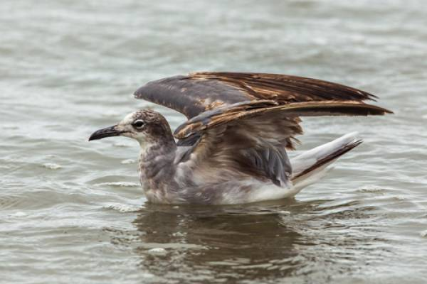 Laughing Gull - photo by Nick Athanas, Flickr