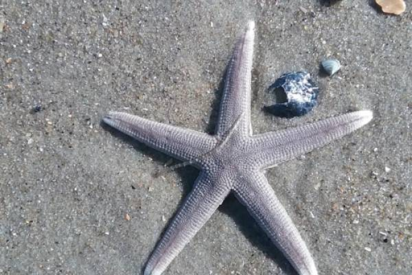 Starfish on Carova Beach