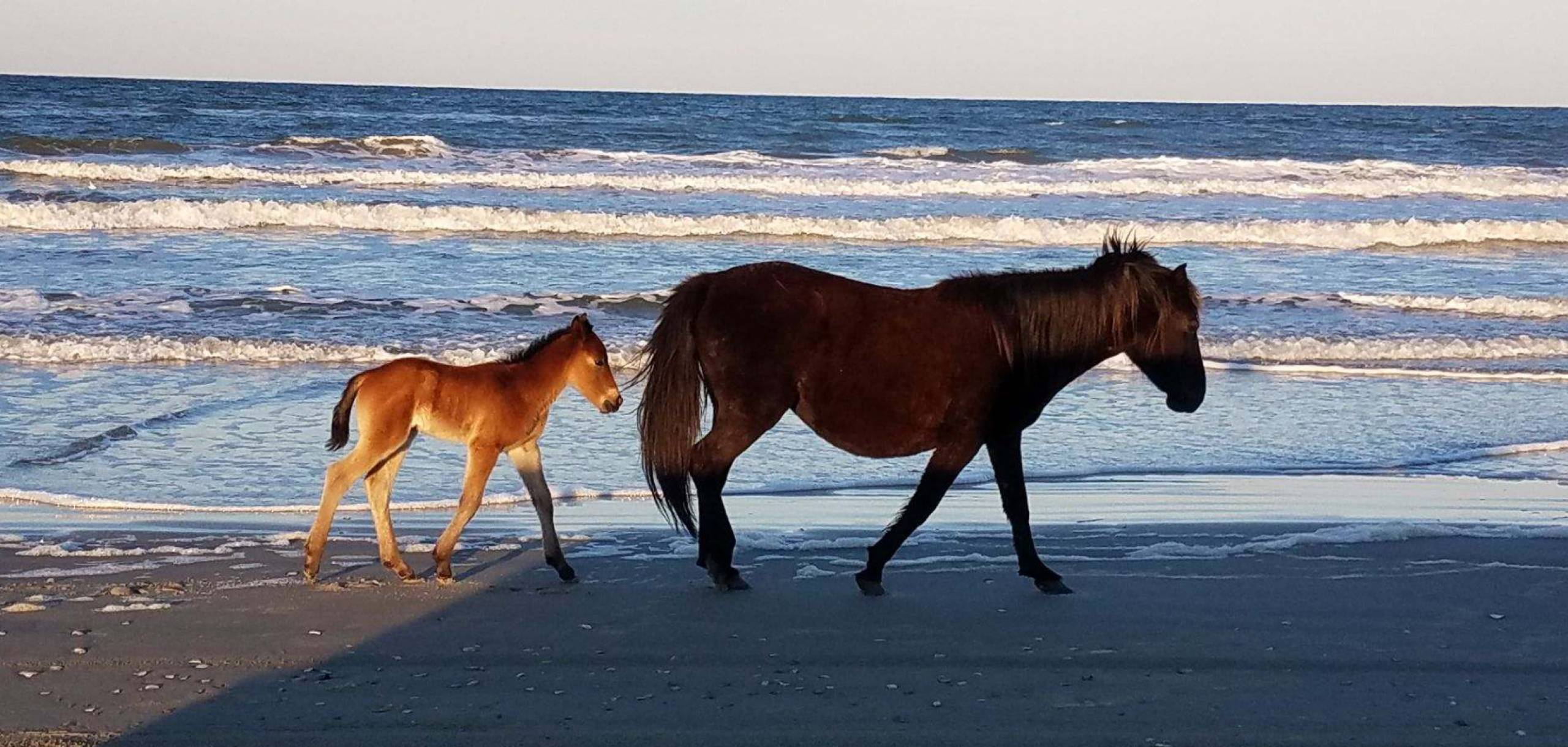 First Foal of 2019 Carova Herd - photo Mike Davenport