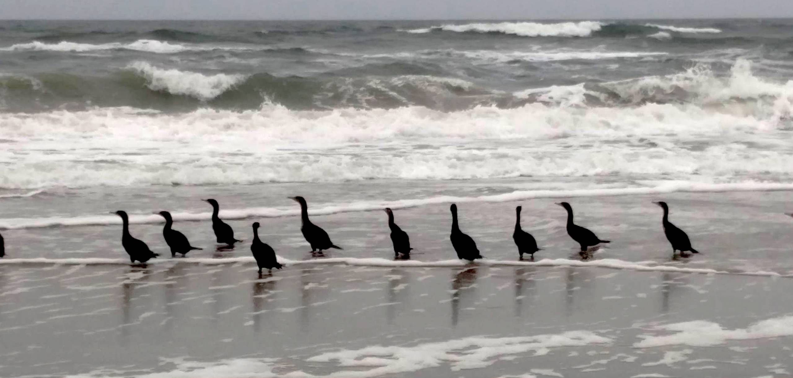 Cormorants Carova Beach