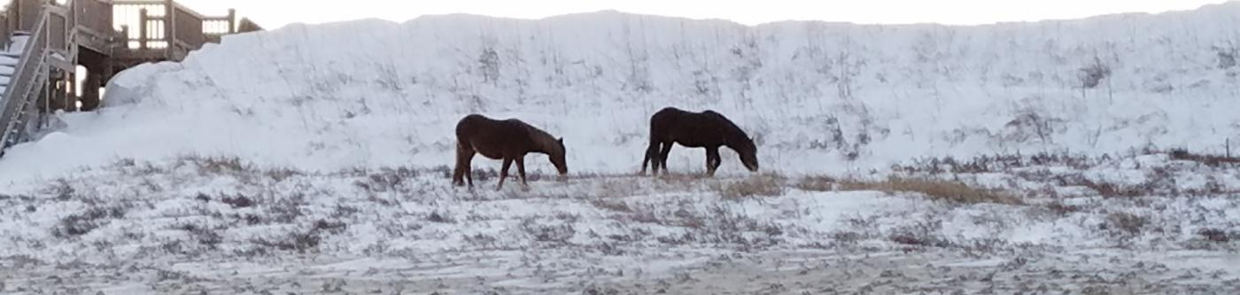 Corolla Wild Horses on snowy dunes
